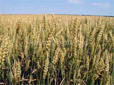 ГМО пшеница